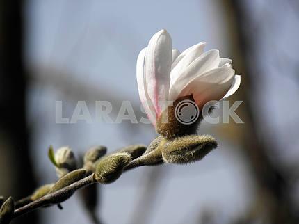 Springtime's awaking in the countryside,magnolia,Croatia,1