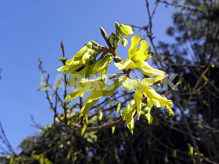 Springtime's awaking in the countryside,forsythia,Croatia,33