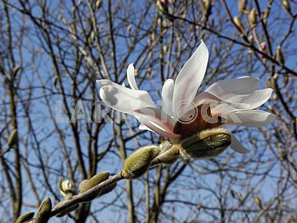 Springtime's awaking in the countryside,white magnolia,Croatia,35