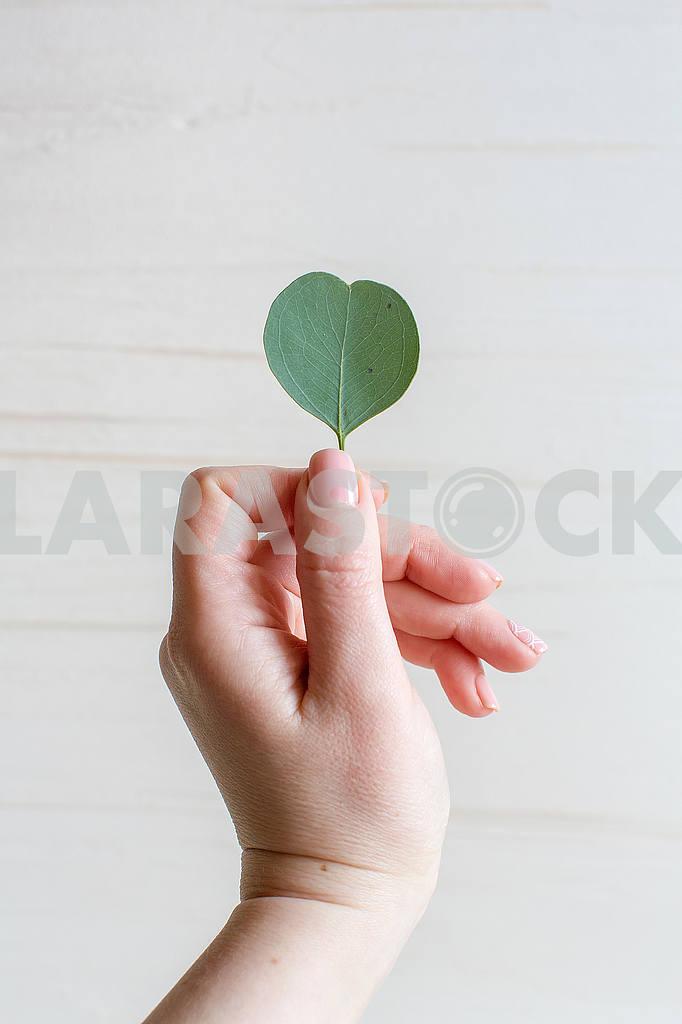 Eucalyptus — Image 53294