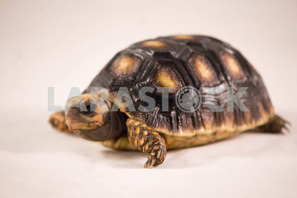 Red footed tortoise — Image 53367