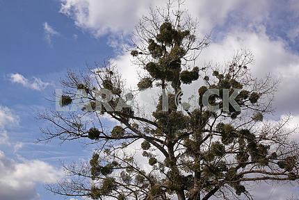 Many mistletoe
