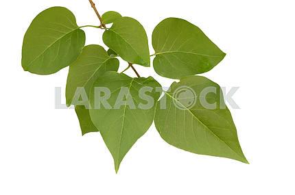 Листья сирени