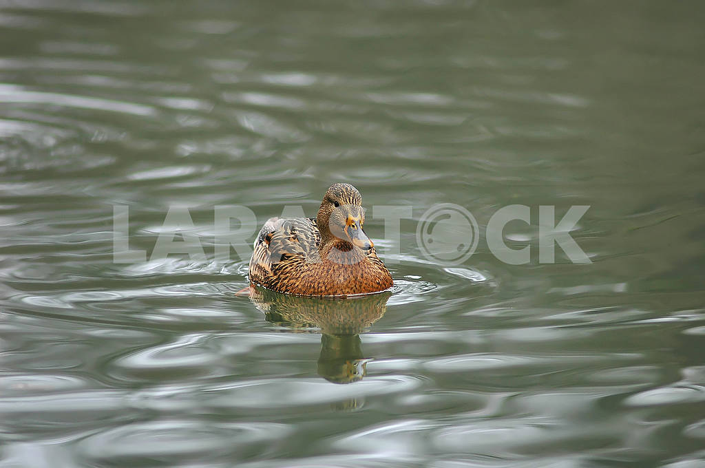 Duck on the water — Image 53682