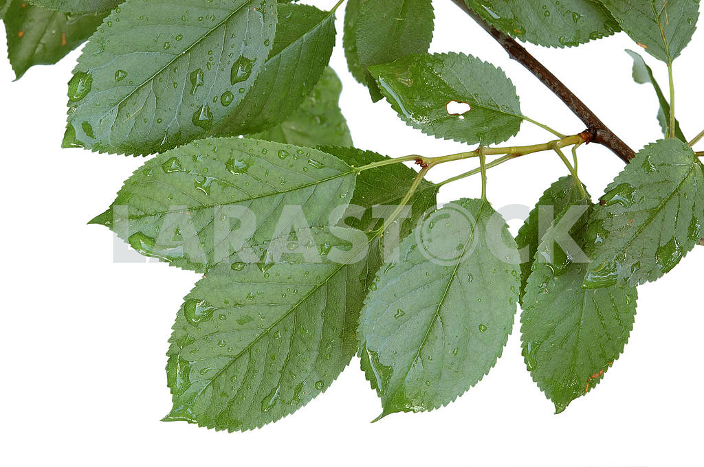 Cherry leaves after rain — Image 53701