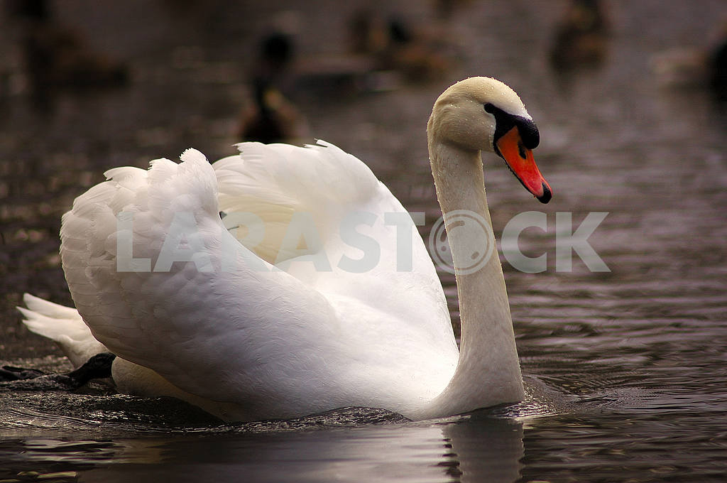 White swan on a pond — Image 53754