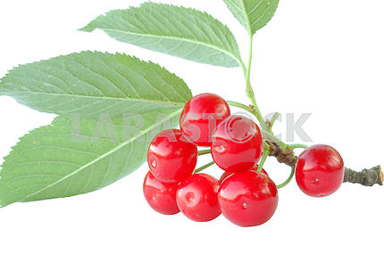 Branch of a cherry