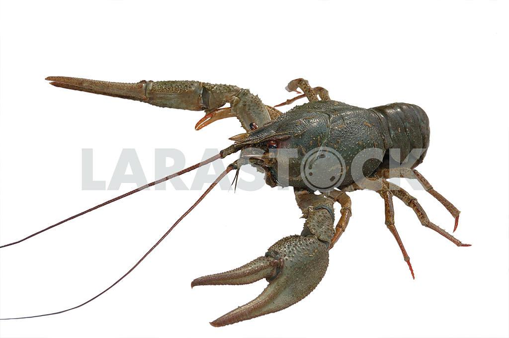 Crayfish — Image 53801