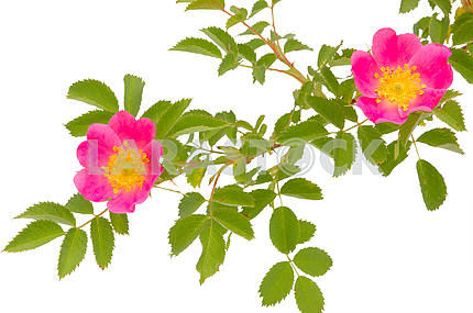 Blossoming dogrose