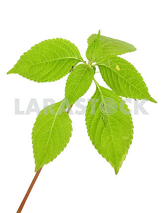 Лесное растение