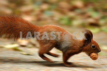Hurrying squirrel