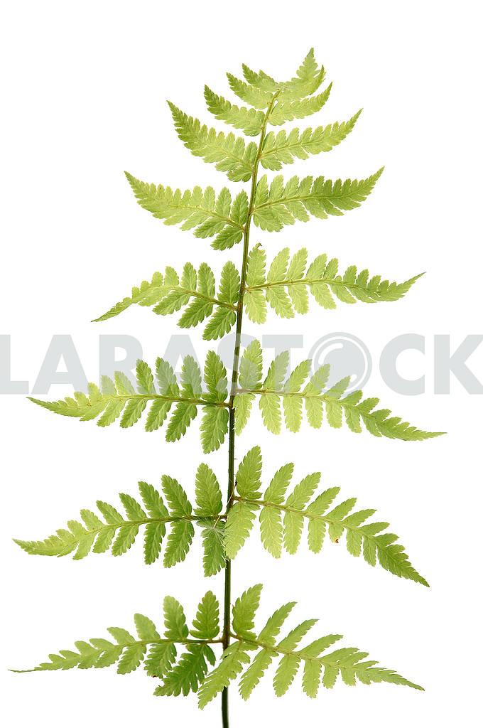 Branch of fern — Image 53862