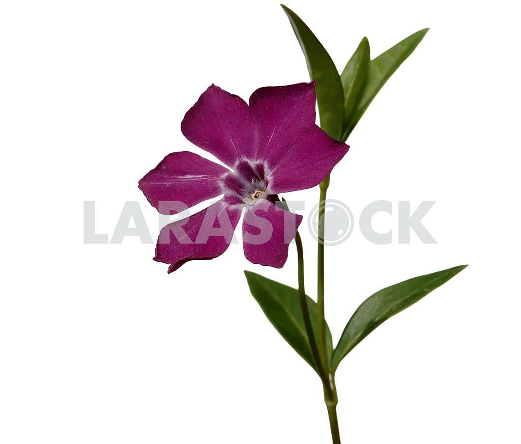Цветок барвинка — Изображение 53863
