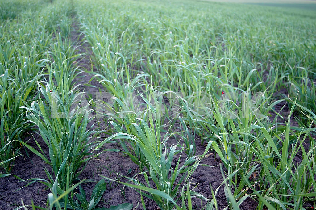 Young wheat — Image 53873