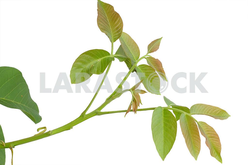 Branch of walnut — Image 53878