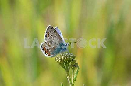 copper-butterfly