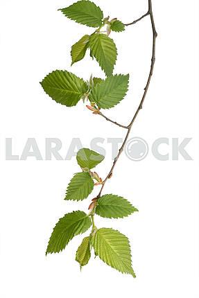 hazel twig
