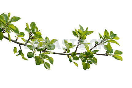branch of pear wood
