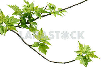 ash-leaved maple branch