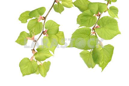 alder branches