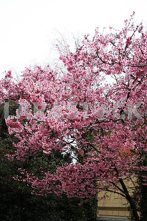 Japan cherry's springstime blooming,Zagreb,Croatia,1