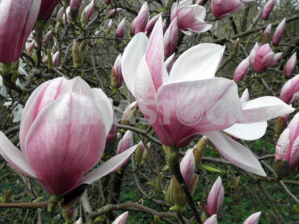 Magnolia's bloom in the springtime,Croatian countryside,5 — Image 53934