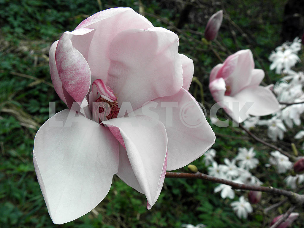 Magnolia's bloom in the springtime,Croatian countryside,6 — Image 53935