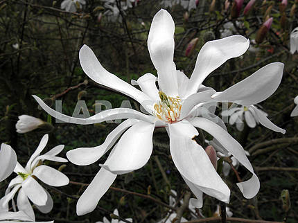 Magnolia's bloom in the springtime,Croatian countryside,8