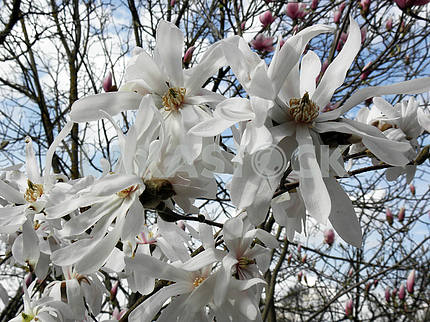 Magnolia's bloom in the springtime,Croatian countryside,11