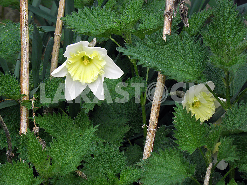 Blooming daffodils among nettle,Croatian countryside — Image 53939