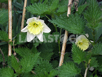 Blooming daffodils among nettle,Croatian countryside