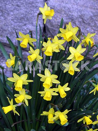 Blooming garden daffodils,Croatian countryside