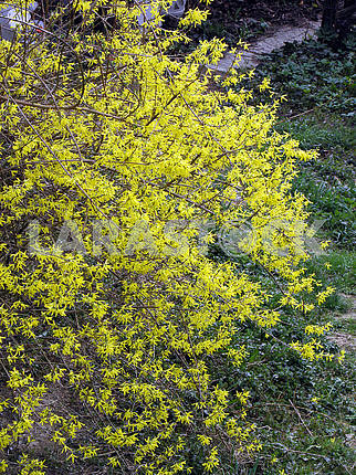 Blooming garden forsythia,Croatian countryside