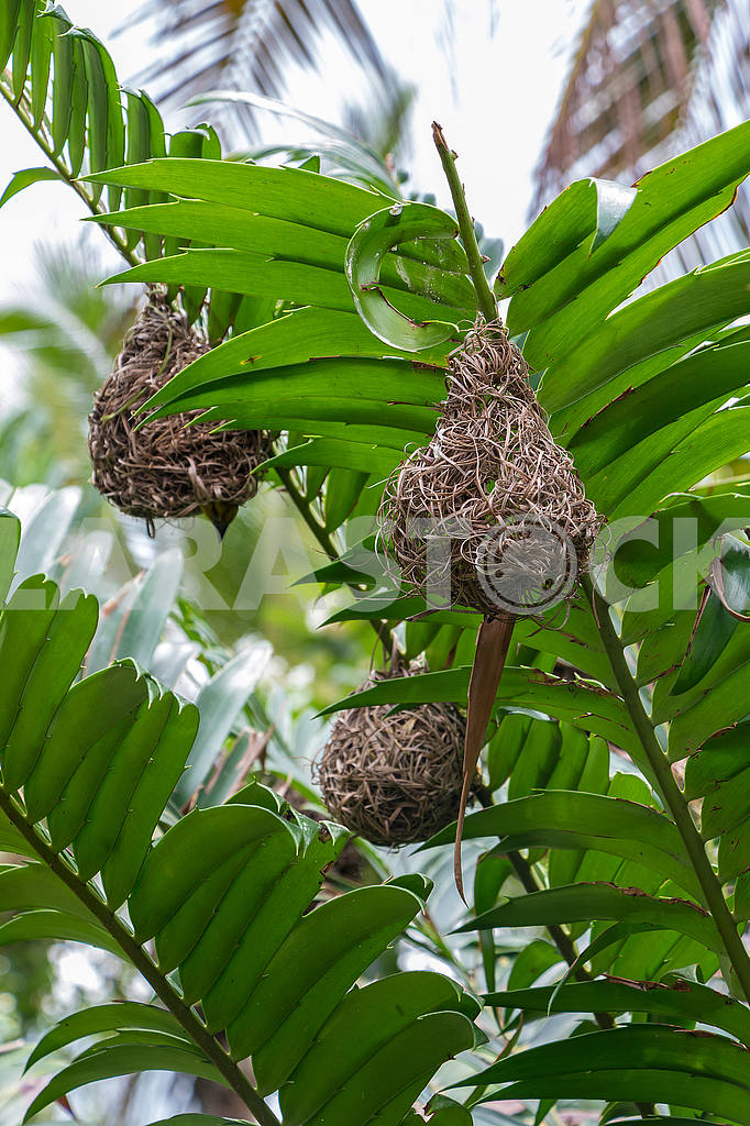 Bird's Nest on Palm Tree  — Image 54005