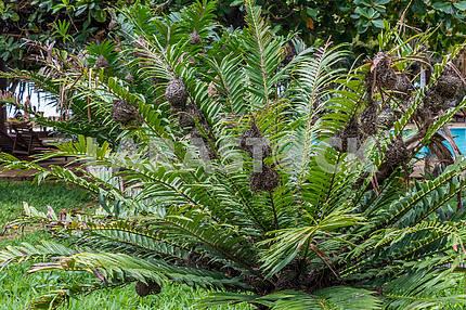 Nests of birds on a palm