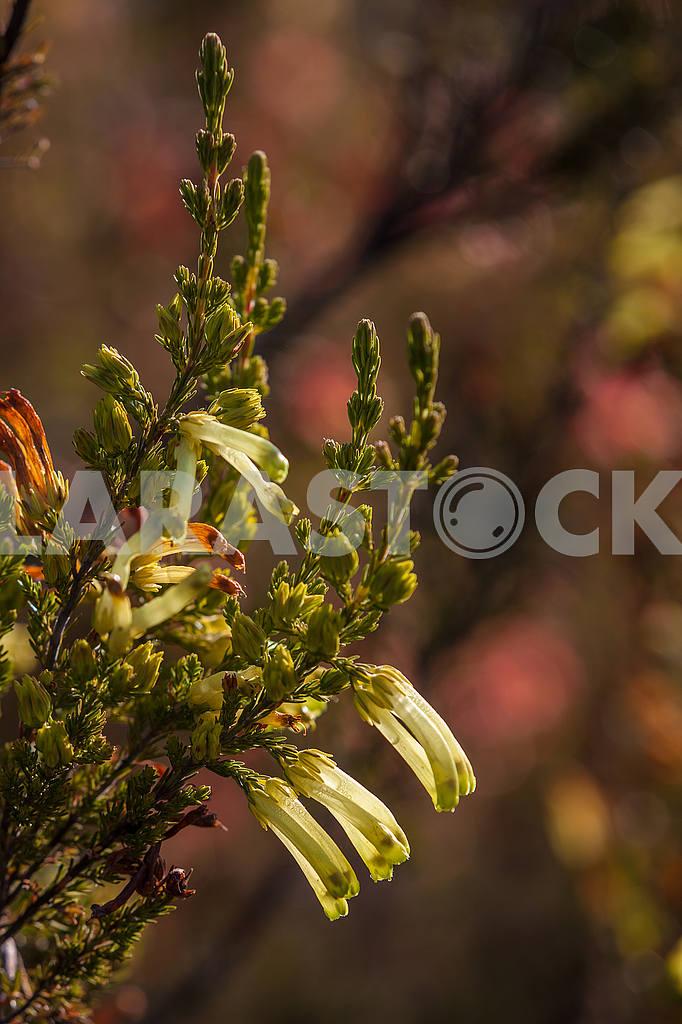 Цветы Leucadendron — Изображение 54041