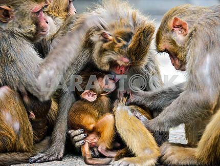 Семья обезьян ищут насекомых в шерсти друг друга.