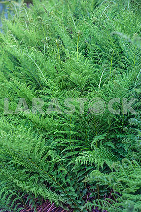 Bush ferns