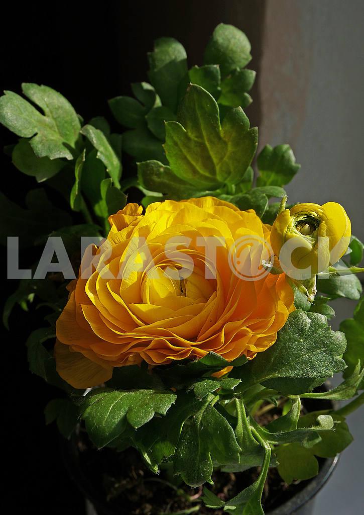 Blooming yellow begonia — Image 54334
