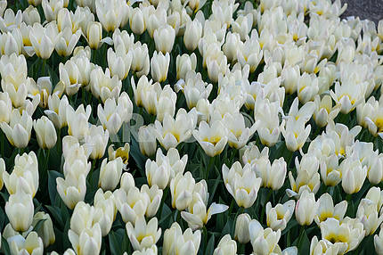 White tulips at the exhibition
