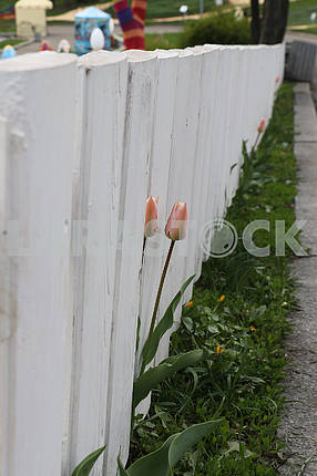 Тюльпаны на выставке