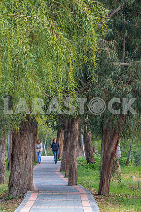 Walking path in the eucalyptus grove