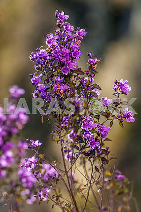 Prostanthera baxteri 'Lavender Moon'