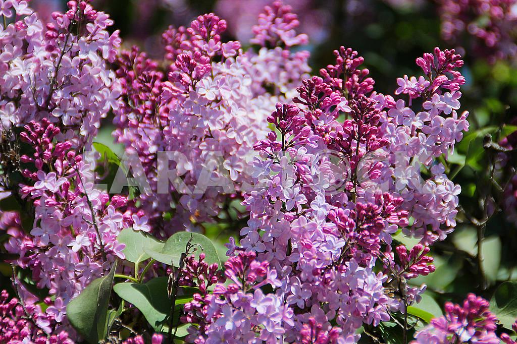 Lilac — Image 55321