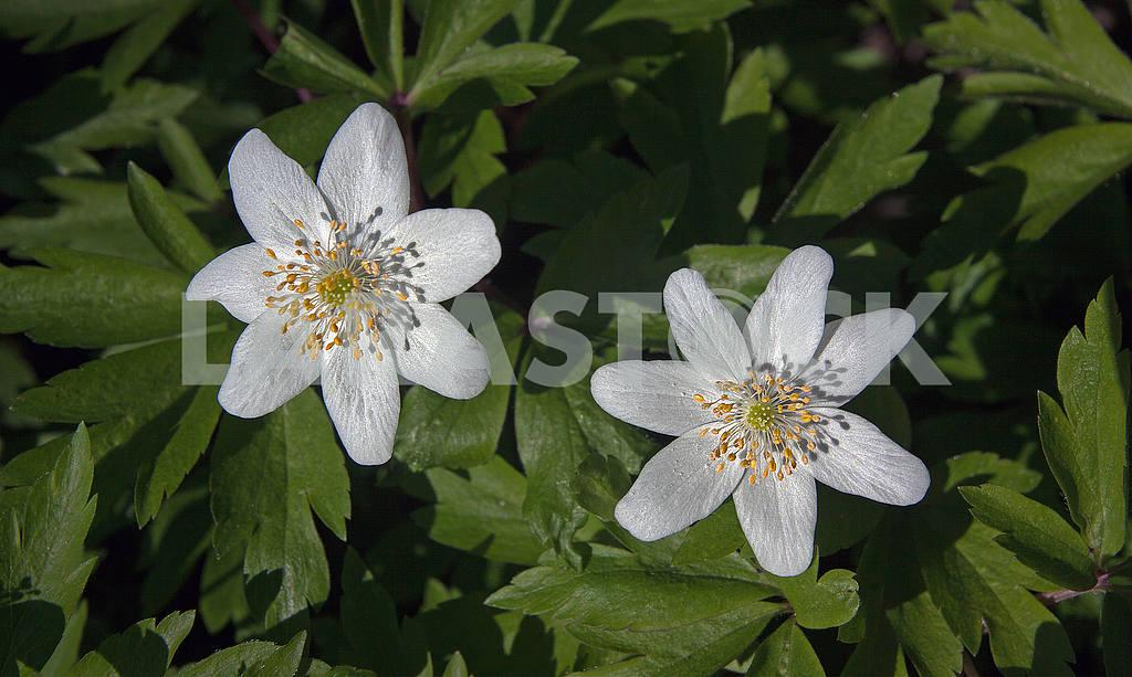 White anemones nemorosa — Image 55335
