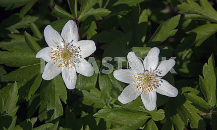 White anemones nemorosa