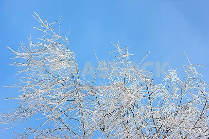 The branches of birch covered with hoarfrost