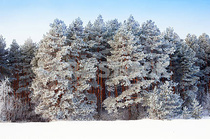 Beautiful landscape with snowy pine trees