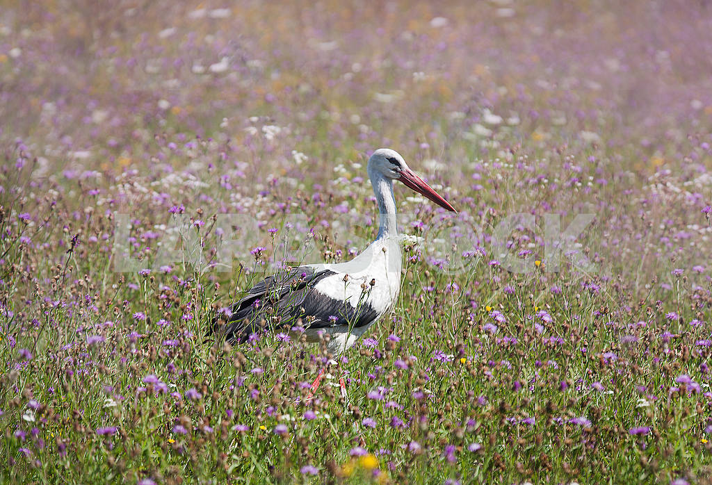 White stork walking on a green meadow — Image 56003