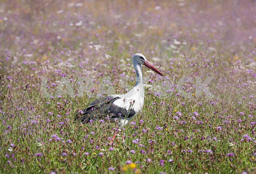 White stork walking on a green meadow — Image 56003
